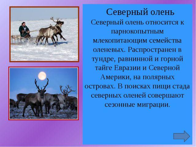 Северный олень Северный олень относится к парнокопытным млекопитающим семейс...