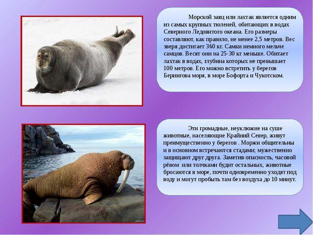 Морской заяц или лахтак является одним из самых крупных тюленей, обитающих в...