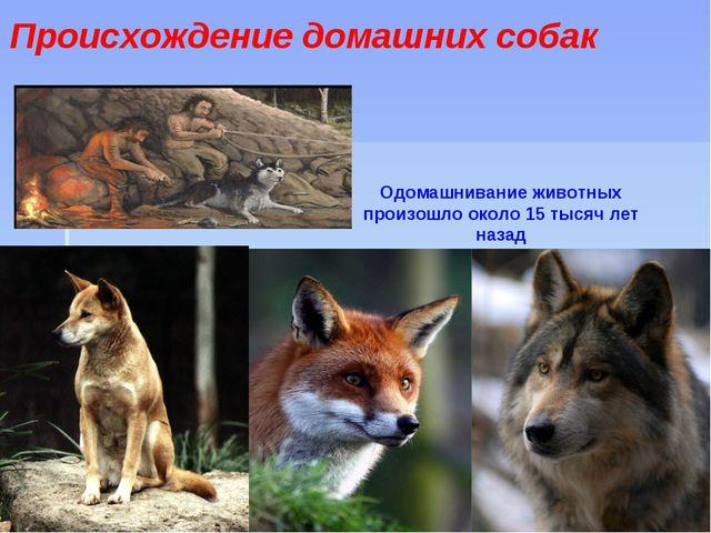 Происхождение домашних собак Одомашнивание животных произошло около 15 тысяч...