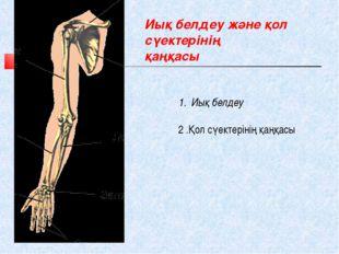 Иық белдеу және қол сүектерінің қаңқасы Иық белдеу 2 .Қол сүектерінің қаңқасы