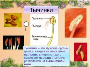 Тычинки Тычинки – это мужские органы цветка, каждая тычинка имеет пыльник, вн