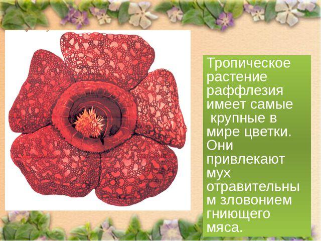 Тропическое растение раффлезия имеет самые крупные в мире цветки. Они привлек...