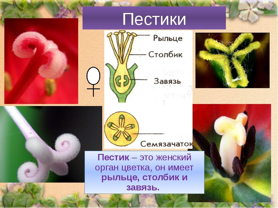 Пестики Пестик – это женский орган цветка, он имеет рыльце, столбик и завязь.