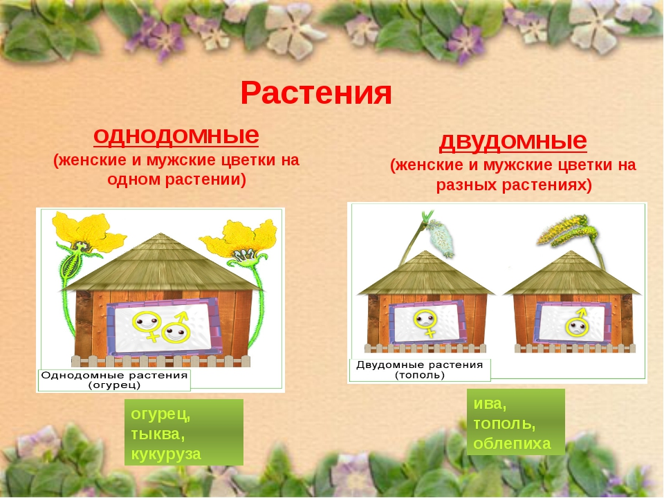 Растения однодомные (женские и мужские цветки на одном растении) двудомные (ж...