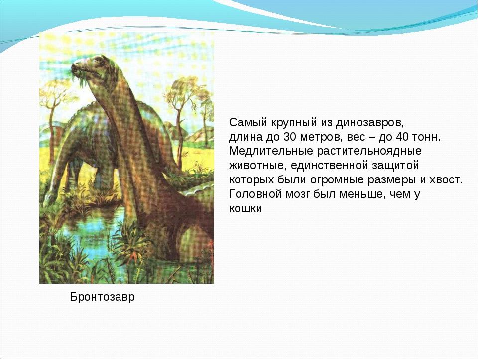 Бронтозавр Самый крупный из динозавров, длина до 30 метров, вес – до 40 тонн....