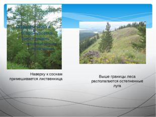 Наверху к соснам примешивается лиственница Выше границы леса располагаются ос
