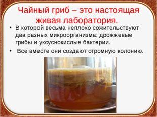 Чайный гриб – это настоящая живая лаборатория. В которой весьма неплохо сожит