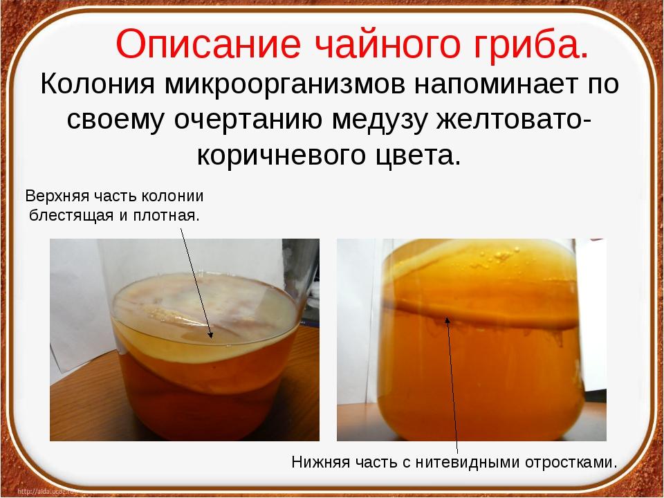 Описание чайного гриба. Колония микроорганизмов напоминает по своему очертани...