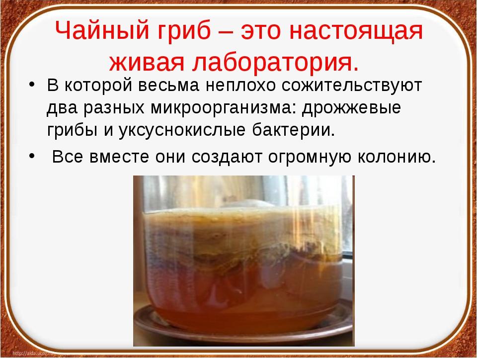 Чайный гриб – это настоящая живая лаборатория. В которой весьма неплохо сожит...