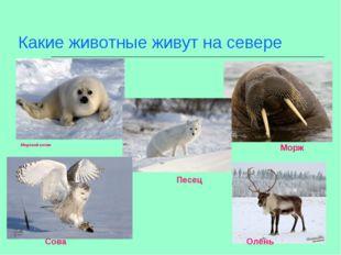Какие животные живут на севере Морж Морской котик Песец Сова Олень