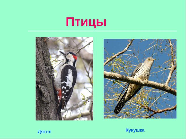 Птицы Кукушка Дятел
