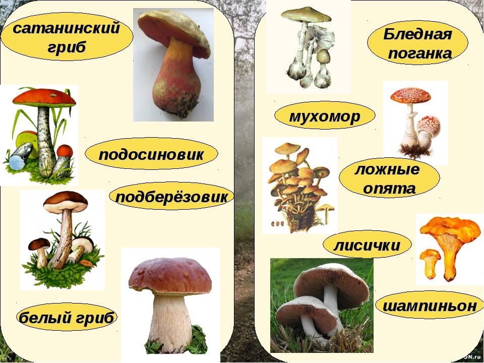 лисички подберёзовик мухомор подосиновик белый гриб Бледная поганка ложные оп...