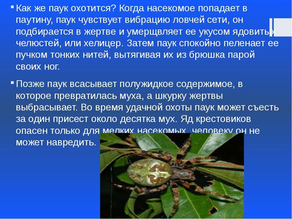 Как же паук охотится? Когда насекомое попадает в паутину, паук чувствует вибр...