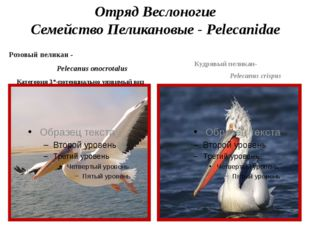 Отряд Веслоногие Семейство Пеликановые - Pelecanidae Розовый пеликан - Peleca