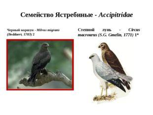 Семейство Ястребиные - Accipitridae Черный коршун - Milvus migrans (Boddaert,