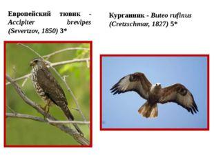 Европейский тювик - Accipiter brevipes (Severtzov, 1850) 3* Курганник - Bute