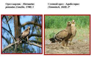 Орел-карлик - Hieraaetus pennatus (Gmelin, 1788) 3 Степной орел - Aquila rap