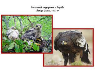 Большой подорлик - Aquila clanga (Pallas, 1811) 4*