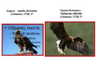 Беркут - Aquila chrysaetos (Linnaeus, 1758) 3* Орлан-белохвост - Haliaeetus a