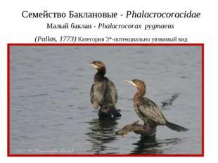 Семейство Баклановые - Phalacrocoracidae Малый баклан - Phalacrocorax pygmaeu