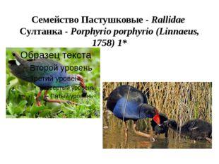 Семейство Пастушковые - Rallidae Султанка - Porphyrio porphyrio (Linnaeus, 17