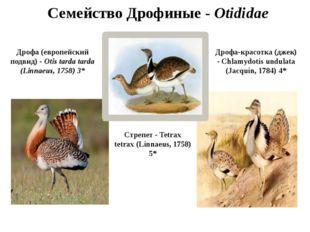 Семейство Дрофиные - Otididae Дрофа (европейский подвид) - Otis tarda tarda (