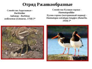 Отряд Ржанкообразные Семейство Авдотковые - Burhinidae Авдотка - Burhinus oed