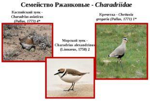 Семейство Ржанковые - Charadriidae Каспийский зуек - Charadrius asiaticus (Pa