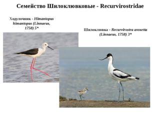 Семейство Шилоклювковые - Recurvirostridae Ходулочник - Himantopus himantopus