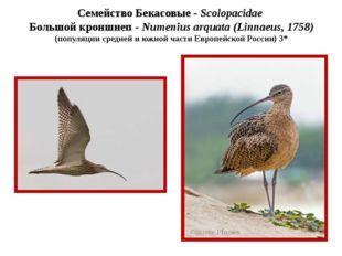 Семейство Бекасовые - Scolopacidae Большой кроншнеп - Numenius arquata (Linna
