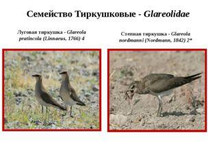 Семейство Тиркушковые - Glareolidae Луговая тиркушка - Glareola pratincola (L