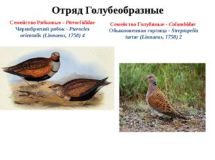 Отряд Голубеобразные Семейство Рябковые - Pteroclididae Чернобрюхий рябок - P