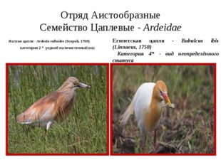 Отряд Аистообразные Семейство Цаплевые - Ardeidae Желтая цапля - Ardeola rall