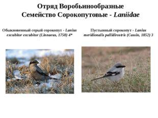 Отряд Воробьинообразные Семейство Сорокопутовые - Laniidae Обыкновенный серый