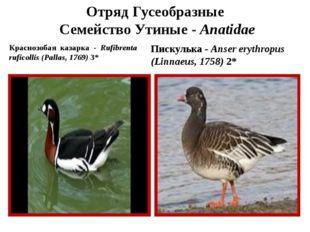 Отряд Гусеобразные Семейство Утиные - Anatidae Краснозобая казарка - Rufibren