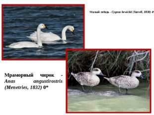 Малый лебедь - Cygnus bewickii (Yarrell, 1830) 4* Мраморный чирок - Anas angu