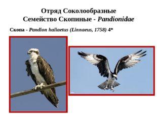 Отряд Соколообразные Семейство Скопиные - Pandionidae Скопа - Pandion haliaet