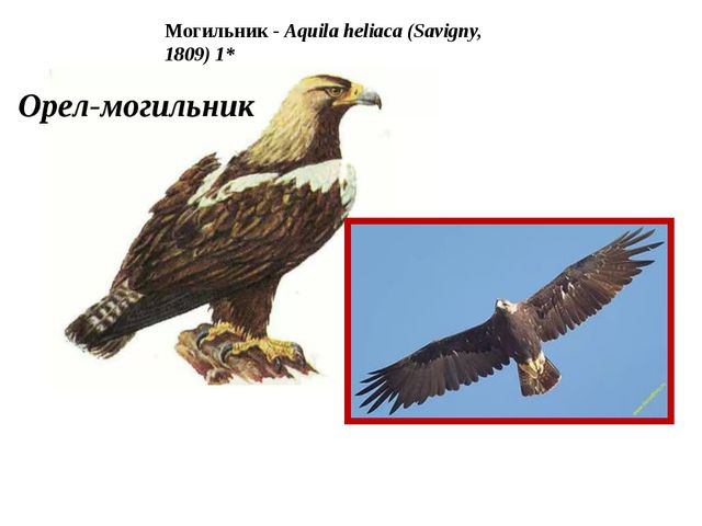 Могильник - Aquila heliaca (Savigny, 1809) 1*