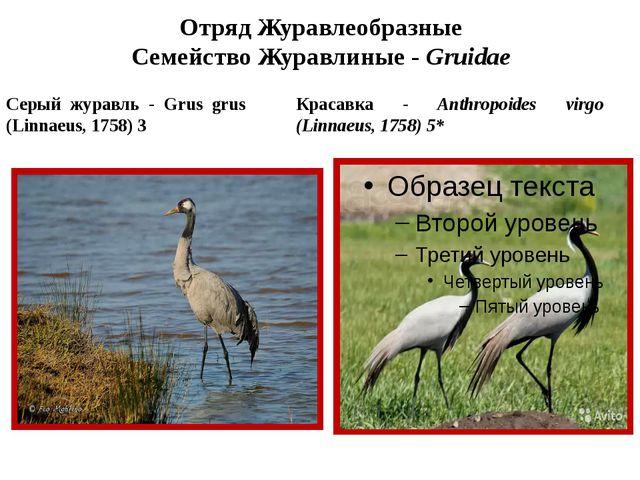 Отряд Журавлеобразные Семейство Журавлиные - Gruidae Красавка - Anthropoides...