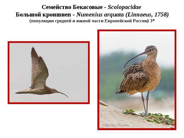 Семейство Бекасовые - Scolopacidae Большой кроншнеп - Numenius arquata (Linna...