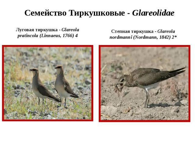 Семейство Тиркушковые - Glareolidae Луговая тиркушка - Glareola pratincola (L...