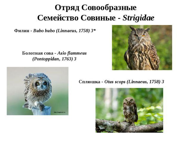 Отряд Совообразные Семейство Совиные - Strigidae Филин - Bubo bubo (Linnaeus,...