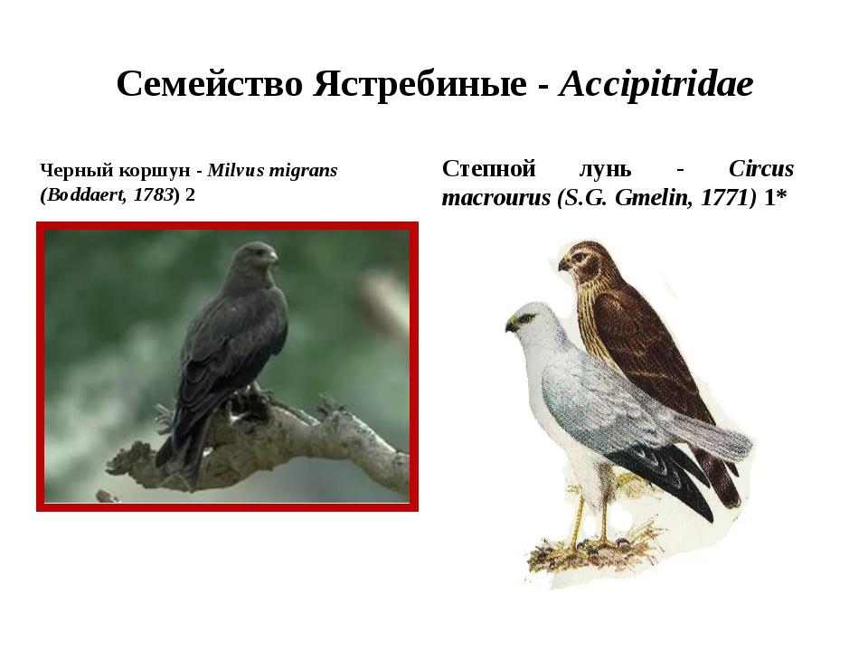 Семейство Ястребиные - Accipitridae Черный коршун - Milvus migrans (Boddaert,...