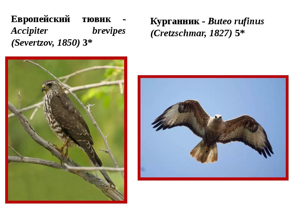 Европейский тювик - Accipiter brevipes (Severtzov, 1850) 3* Курганник - Bute...