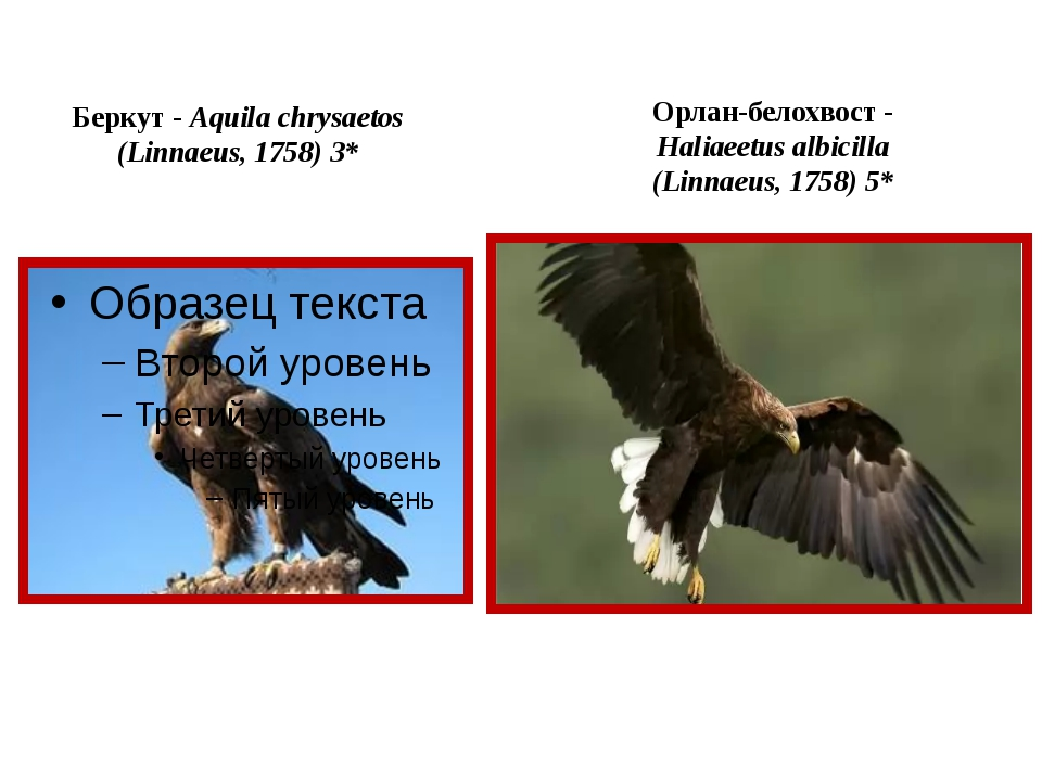 Беркут - Aquila chrysaetos (Linnaeus, 1758) 3* Орлан-белохвост - Haliaeetus a...