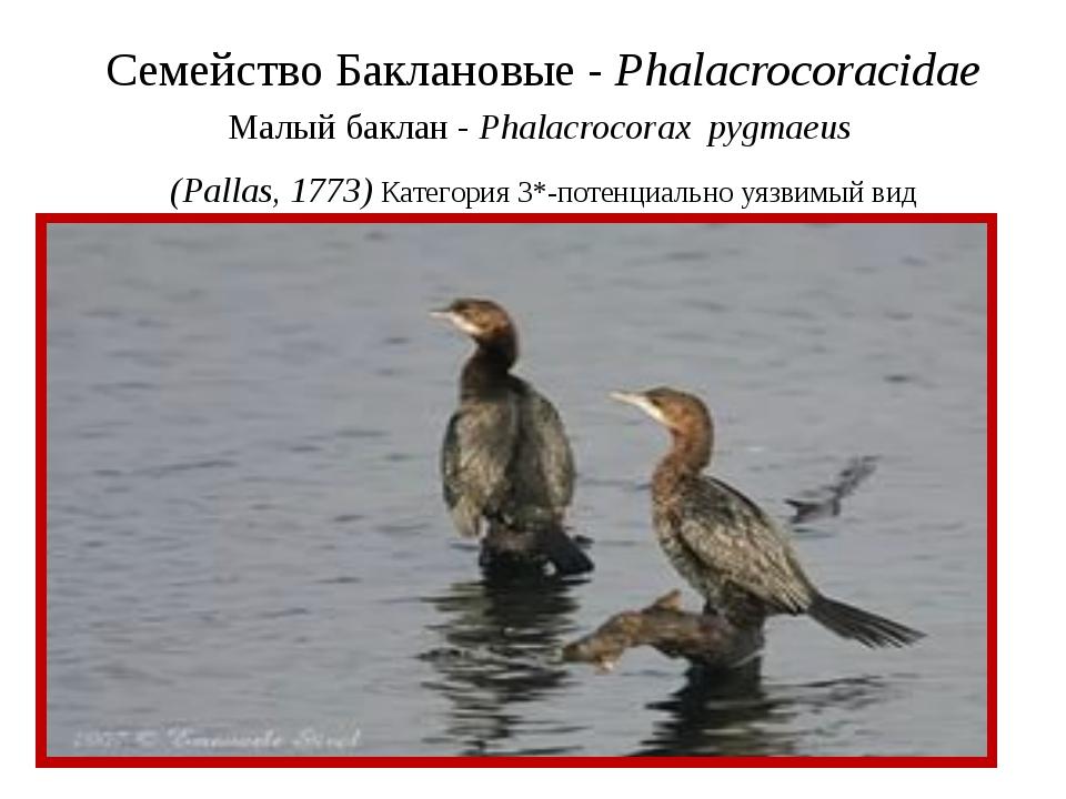 Семейство Баклановые - Phalacrocoracidae Малый баклан - Phalacrocorax pygmaeu...