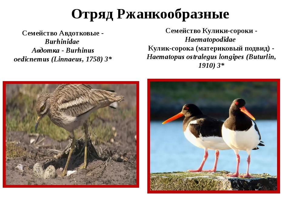 Отряд Ржанкообразные Семейство Авдотковые - Burhinidae Авдотка - Burhinus oed...