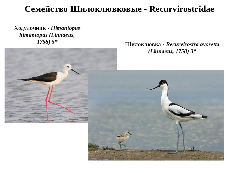 Семейство Шилоклювковые - Recurvirostridae Ходулочник - Himantopus himantopus...