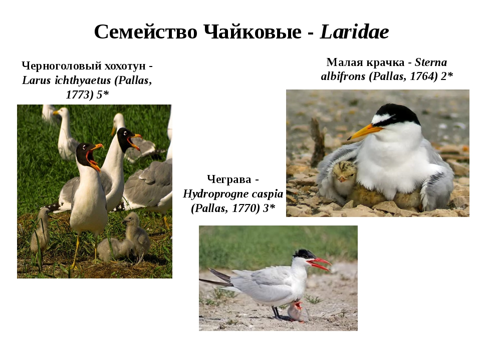 Семейство Чайковые - Laridae Черноголовый хохотун - Larus ichthyaetus (Pallas...