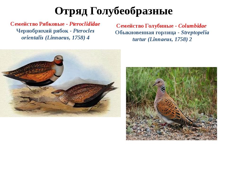Отряд Голубеобразные Семейство Рябковые - Pteroclididae Чернобрюхий рябок - P...